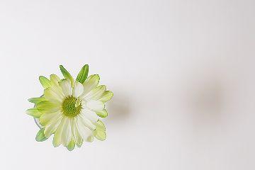 freetoedit flower chrysanthemum green shadow