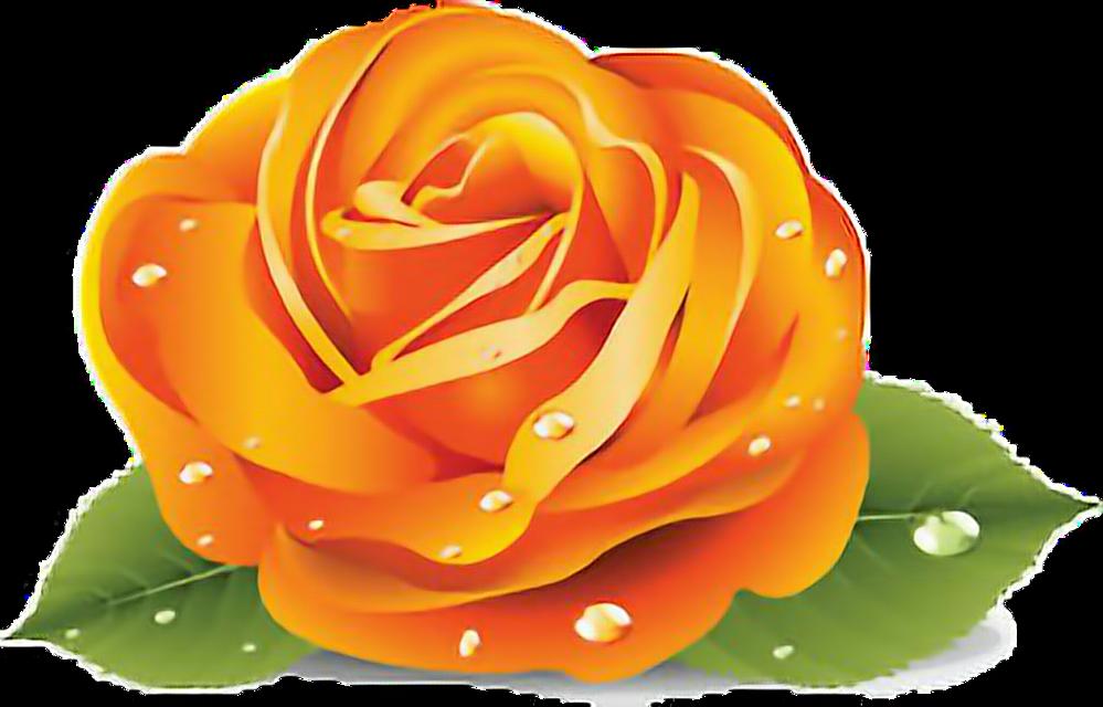 #Orange rose #Rose #Roses #Orange#freetoedit